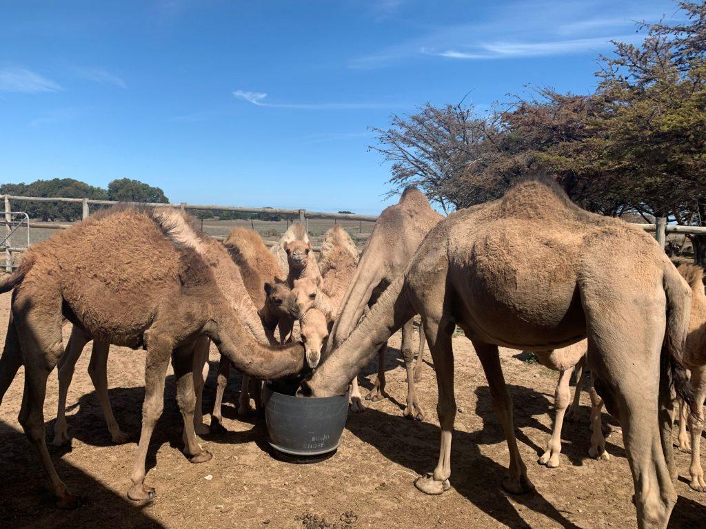 Camel Farm visit
